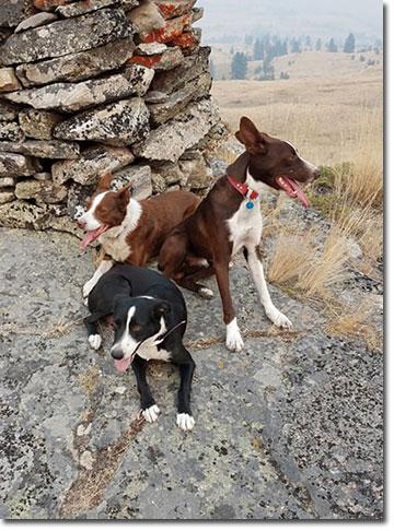 McNab shepherd dogs