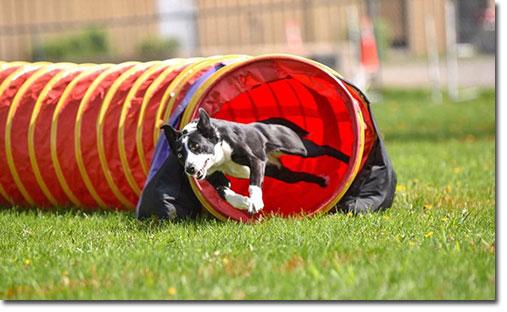 McNab agility dog