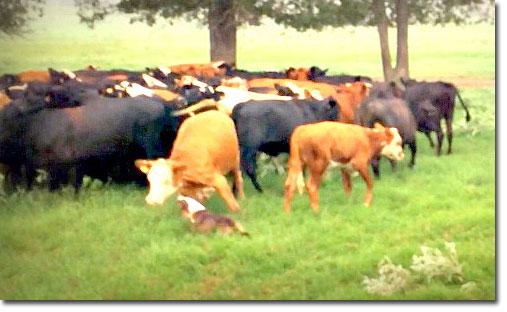 Herding McNab Dogs