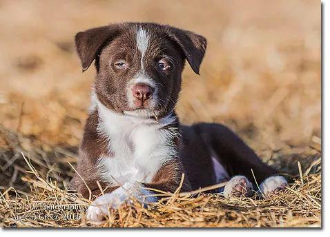 McNab puppy dog
